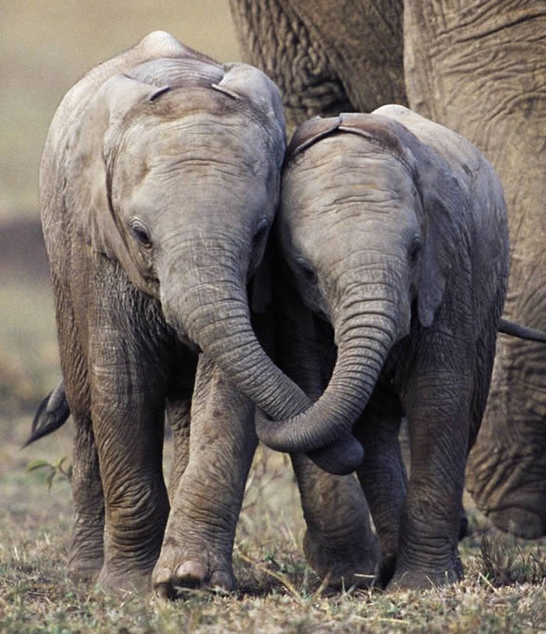 a99260_animal-photo_6-elephants-holding-trunks