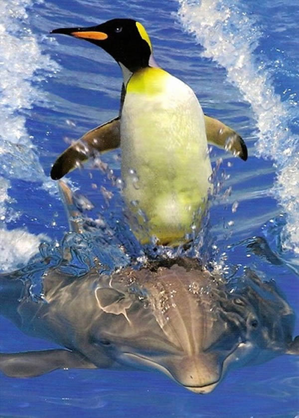 a99260_animal-photo_10-penguin-surfing