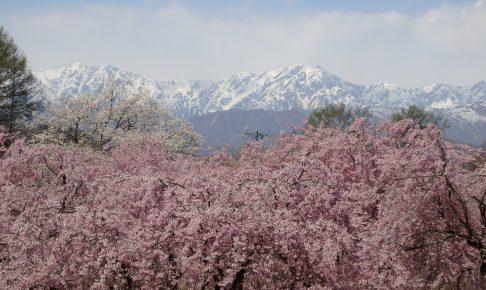 小川村の桜
